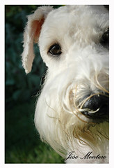 Milo (J.Montero1) Tags: dog milo wheelchair charlie terrier handicap murphy wheaten