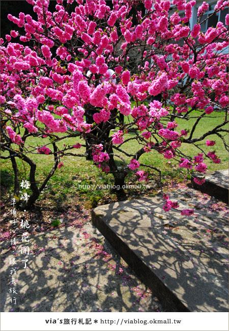 【梅峰農場桃花緣】最美的桃花隧道,就在南投梅峰這裡~(上)42