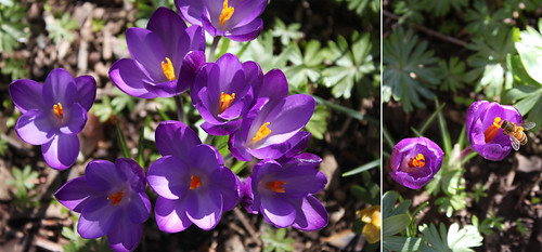 purple crocuses are my favorite