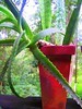 is this a bromeliad? (YAZMDG (16,000 images)) Tags: red cactus plant green leaves de rouge rainforest nsw gaye nswrfp yazminamichele northernriversspecies potsplantspainted