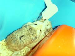thirsty little mites (spidertwist14) Tags: furry roborovski hamsters