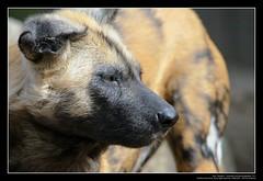 African Wild Dogs / Afrikanische Wildhunde (02) (Georg Sander) Tags: pictures wild wallpaper dog dogs zoo photo foto shot image photos shots african picture perro photograph fotos bild capture duisburg garten bilder captures africano lycaon zoologischer aufnahmen salvaje aufnahme pictus wildhunde afrikanischer wildhund afrikanische wildehond hyänenhund cynhyène gerald1311 hyänenhunde wildehonds