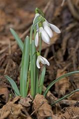 Bucaneve (Galanthus nivalis) (paolo-55) Tags: closeup galanthusnivalis bucaneve 105mmvrmicronikkor nikond700 ☼gigilivornosfriends☼