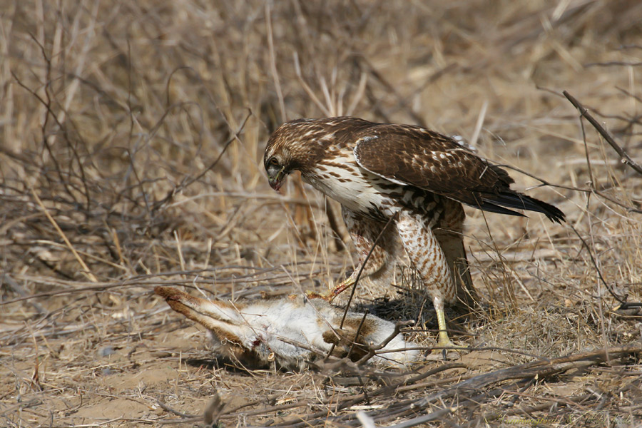 Red-tailed-Hawk-110906
