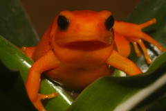 Golden Mantella Frog (Ian Lambert) Tags: orange macro nature wildlife small lancashire frog tiny cumbria tropical madagascar lakelandwildlifeoasis milnthorpe goldenmantella mantellaaurantiaca crirical