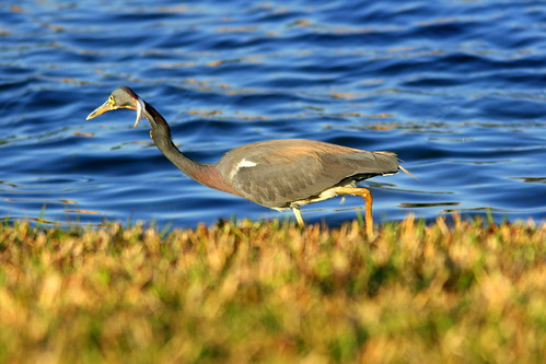 Tricolored Heron 20100327