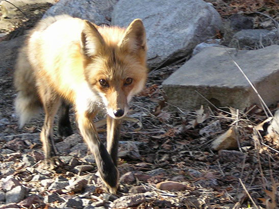 fox on the trail