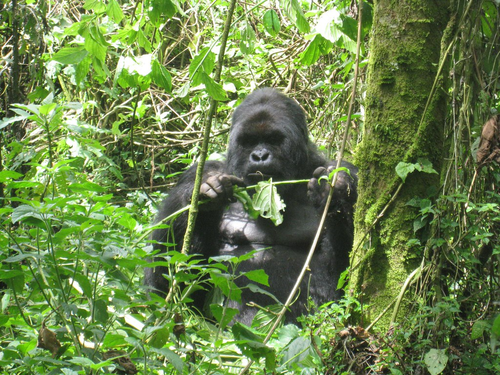 The silverbacks seemed to have an insatiable appetite.