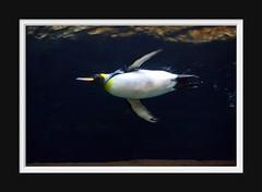 King Penguin (Arie van Tilborg) Tags: blijdorp dierentuin oceanium kingpenguin rotterdamzoo koningspinguïn arievantilborg