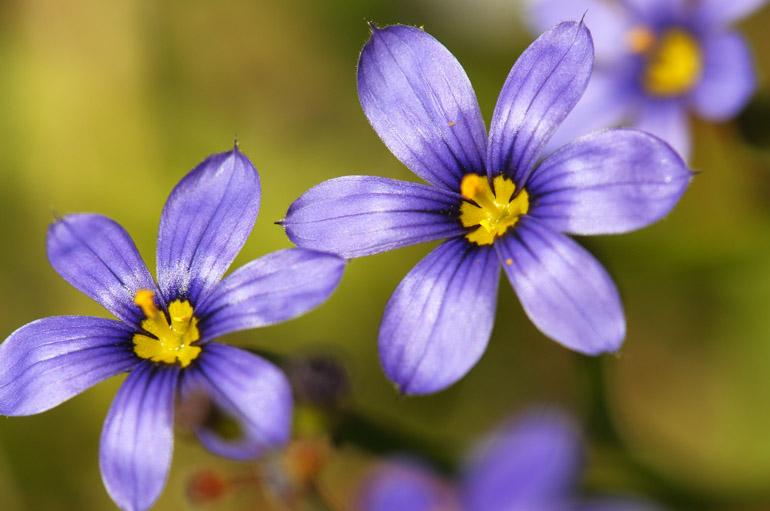 web_violetthreeshiny_wildflowers_0168_2605