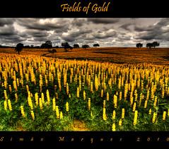 Fields of Gold (Simo Marques) Tags: camera flowers sky flores beautiful clouds canon landscape photography photo spring flickr foto sting bonito lindo nuvens must alentejo myfavourites simo fieldsofgold amarelas mostbeautiful ce lupinusluteus sodomingos yellowlupin mywinners spcm tremocilha simo2008 valedasguas valedegua simao2008
