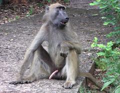 Horny monkey