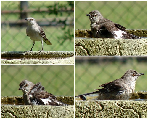 Mockingbird Bath II