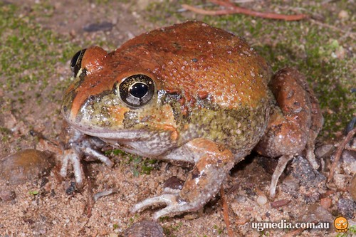 Ornate burrowing frog (Platyplectrum ornatum)
