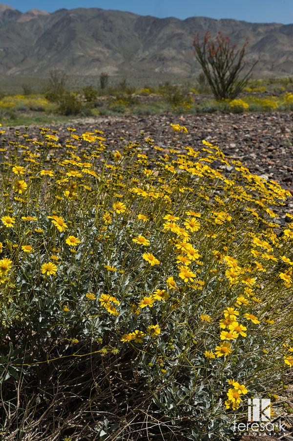 Desert Blooms, Arizona and California desert along Highway 10, Teresa K photography