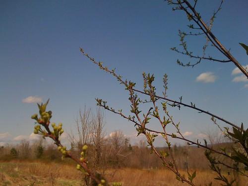 spring buds!