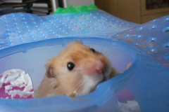 I posed gimme noms! (springhawk) Tags: pet animal rodent hamster keek matsek