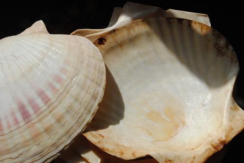 seashell bowls