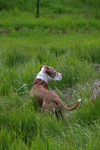 Pit Bull Mina Checking It All Out