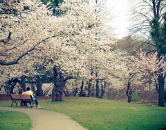 High Park Cherry Blossoms (Zebriana) Tags: toronto highpark sakura cherryblossoms