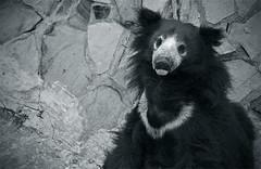 Melursus ursinus (AnkhaiStenn) Tags: bear wild white black animal zoo russia moscow russian portret ursinus medved melursus