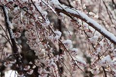 Kyoto - Kamigamo -  (mavyrnc) Tags: snow macro japan geotagged kyoto  sakura  japon japn nishijin kamigamo  kyoutofu kamigamoyamamotochou geo:lat=3506038794 geo:lon=13575273514