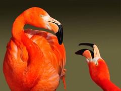 Flamingos (jorg.lutz) Tags: pink portrait orange blur animal animals munich