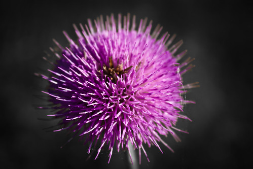 Prickly Purple