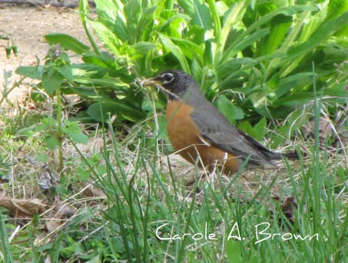 Robin with nesting material