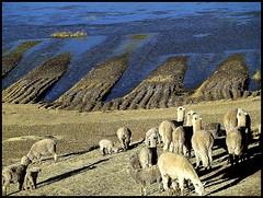 enjoying the view in lake Umayou (maios) Tags: blue lake alpaca peru water animal view ground burial shores enjoying sillustani puno maios preincan umayo umayou enjoyingtheviewinlakeumayou