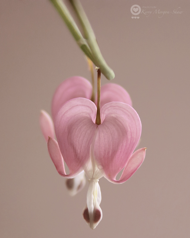 Bleeding Heart - 123/365
