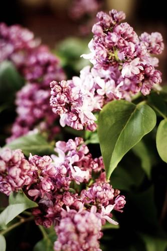 2010 Lilacs