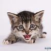kitten_M_Kloth-001 (Michael Kloth) Tags: portrait cat kitten feline animalrescue adopt humanesociety bfhs impressedbeauty