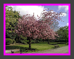 blossom out in Ward End Park Birmingham