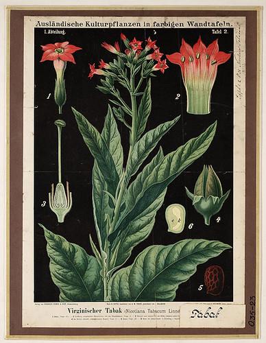 Botanical Illustration: Auslaendische Kulturpflanzen