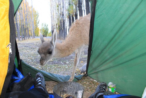 Curious guanaco