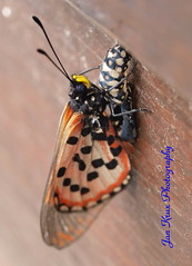 resurrection (jan-krux photography) Tags: macro animals fauna butterfly southafrica town insects cape e3 zd acraeahorta 50mm20 acraea