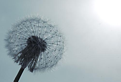 452:1000 Dandelion
