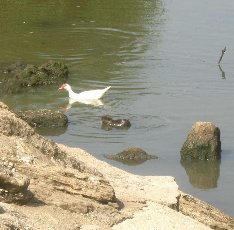 08-05-2010-duck-and-rat