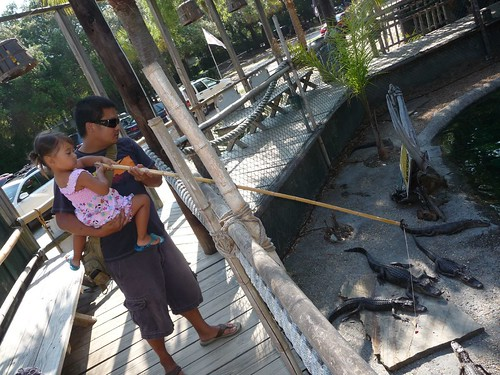 feeding alligator.