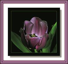 Beckoning Tulip (Vidterry) Tags: flower studio tulip purpletulip amazingdetail dsc91251