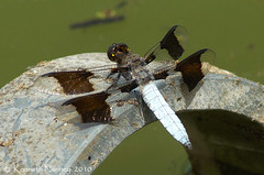 COMMON WHITETAIL 5 (k.nanney) Tags: arlington texas dragonflies tx d2x insects nikkor odonata libellulidae texaswildlife skimmers tarrantcounty commonwhitetail plathemislydia nikkor300mm nanney kennanney kennethnanney villagecreekdryingbeds