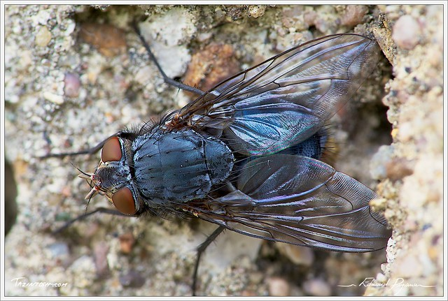 Mouche bleue | Calliphora vomitoria | Blue bottle fly