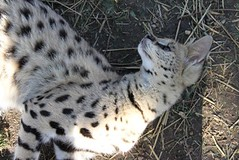 Serval Lying Down