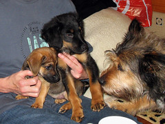 Hunde - 32 (Manfred Lentz) Tags: pets dogs puppy pups puppies hunde littledogs welpen hndchen babydogs whelps