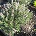 thymus vulgaris / echte tijm