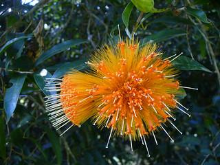 Stifftia chrysantha 2