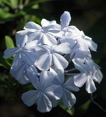 Plumbago flowers (Linda DV) Tags: blue azul closeup canon geotagged march blauw bleu tenerife blau plumbago 2010 leadwort blueflower plumbagnaceae tenbel costadelsilencio powershots5is lindadevolder