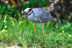 Yellow Crown NIght Heron Photo