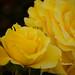 Hershey Gardens Rose Garden